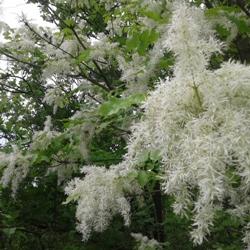 ясен білоцвітний опис рослини