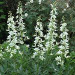 Ясенець білий – лікувальні властивості та використання в медицині
