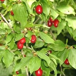 рослина кизил