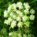 Дудник лісовий – характеристики та властивості рослини