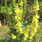 Дивина густоквіткова – лікувальні властивості та рецепти