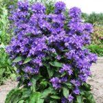 Дзвоники скупчені – опис рослини та її властивостей
