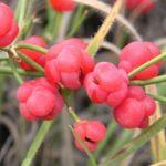 Ефедра двоколоса – лікувальні властивості і застосування