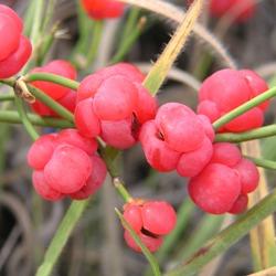 рослина ефедра двоколоса