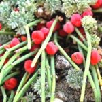 Ефедра середня – фармакологічні властивості та використання