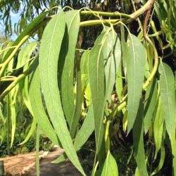 рослина евкаліпт прутоподібний