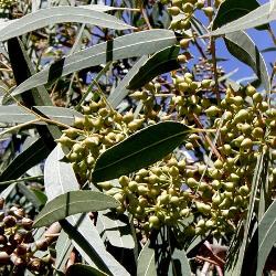 рослина евкаліпт кулястий