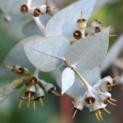 дерево евкаліпт попелястий