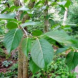 дерево евкомія в'язолиста