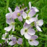 Жеруха лучна – лікувальні властивості рослини