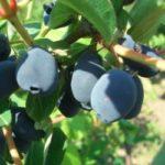 Жимолость голуба – лікувальні властивості рослини