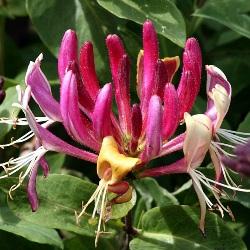 рослина жимолость козолиста