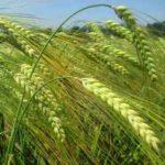 Жито посівне – лікувальні властивості рослини