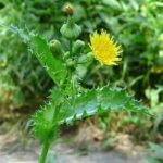 Жовтий осот городній – застосування в медицині