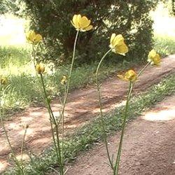 трава жовтець багатоквітковий