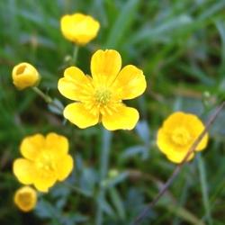рослина жовтець їдкий