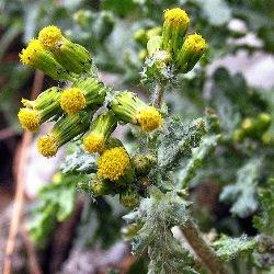 рослина жовтозілля широколисте