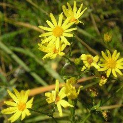 рослина жовтозілля звичайне