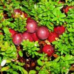 Журавлина чотирипелюсткова – лікувальні властивості