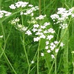 трави кмин звичайний