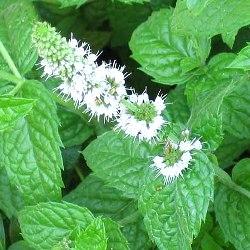 рослина м'ята перцева