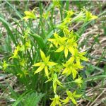 Зірочки жовті – застосування і характеристики рослини