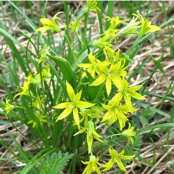 рослина зірочки жовті