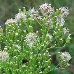 рослина злинка канадська