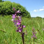 Зозулинець болотний – властивості та використання