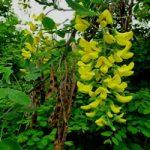 Золотий дощ звичайний – лікувальні властивості та хімічний склад