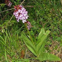 трава зозулинець пурпуровий