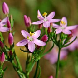 рослина золототисячник малий