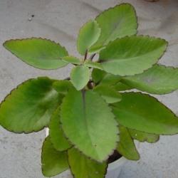 рослина каланхое перисте опис