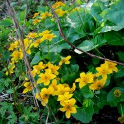 рослина калюжниця болотна