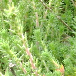 трава камфоросма