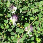Каперці трав'янисті – заготівля і використання для лікування захворювань