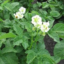 картопля як лікарська рослина