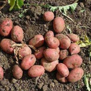 бульби картоплі властивості