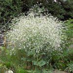 Катран Стевена – хімічний склад і використання рослини