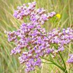 Кермек Гмеліна – опис властивостей рослини