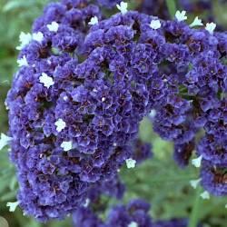 рослина кермек широколистий