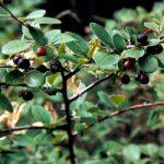 Кизильник чорноплодий – використання в народній медицині