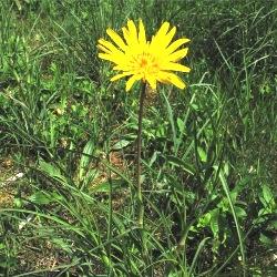 опис лікувальних влативостей рослини козельці лучні