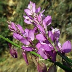 рослина китятки чубаті