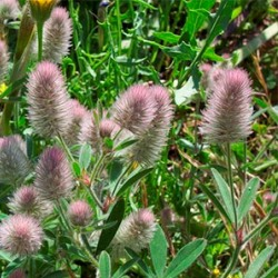 рослина конюшина польова