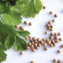 насіння коріандру як ліки