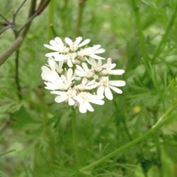 трава коріандр в медицині