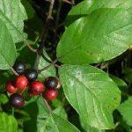 Крушина ламка – лікувальні властивості рослини і застосування в медицині