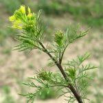 Кудрявець Софії – властивості та використання рослини в народній медицині