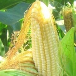 кукурудзяні стовпчики як лікувальна сировина